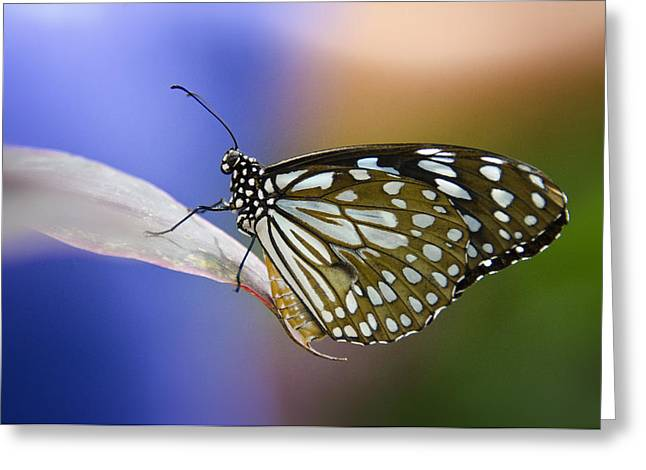 Blue Spotted Milkweed Butterfly  Greeting Card