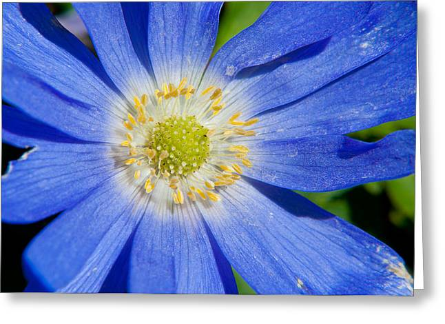 Blue Swan River Daisy Greeting Card by Tikvah's Hope