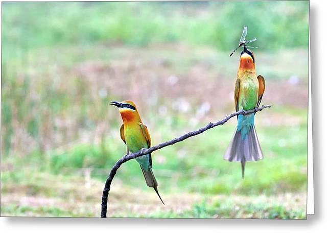 Blue-tailed Bee-eater Courtship Gift Greeting Card