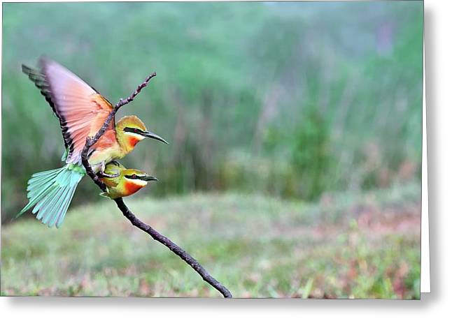 Blue-tailed Bee-eaters Mating Greeting Card