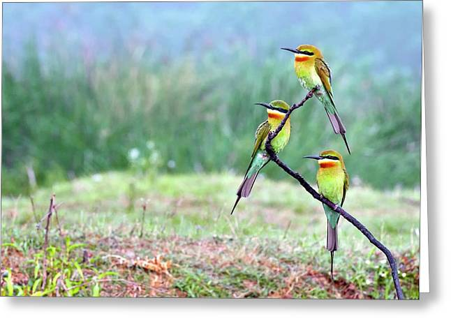Blue-tailed Bee-eaters Perching Greeting Card
