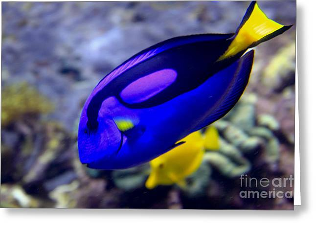 Blue Tang Dory Greeting Card