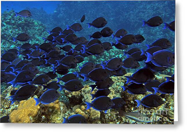 Blue Tangs Greeting Card by Carey Chen