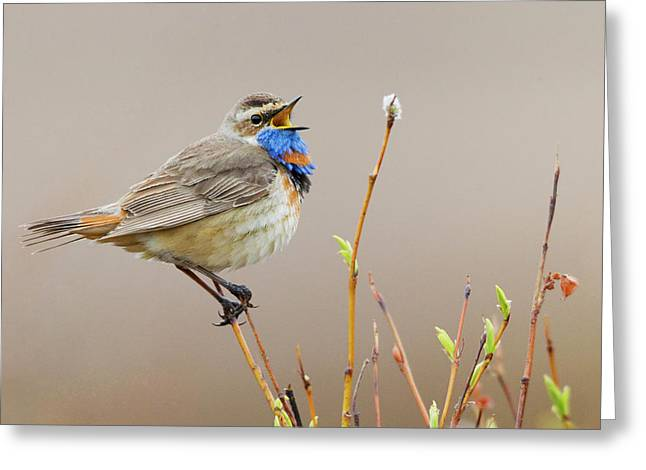 Blue Throat (male Greeting Card