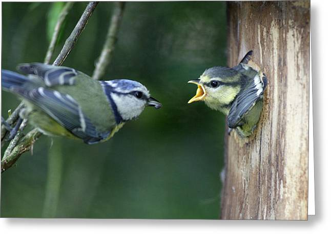 Blue Tit And Chick Greeting Card