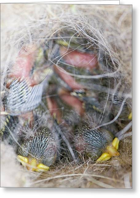Blue Tit Chicks In A Nest Box Greeting Card by Ashley Cooper