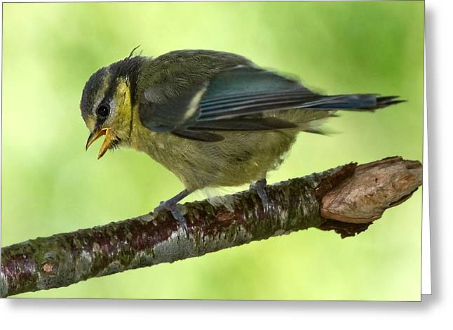Blue Tit Fledgling First Day Out Greeting Card by Mr Bennett Kent