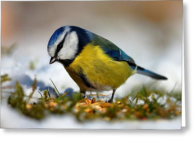 Greeting Card featuring the photograph Blue Tit by Gavin Macrae