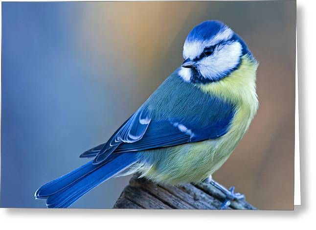 Blue Tit Looking Behind Greeting Card by Torbjorn Swenelius
