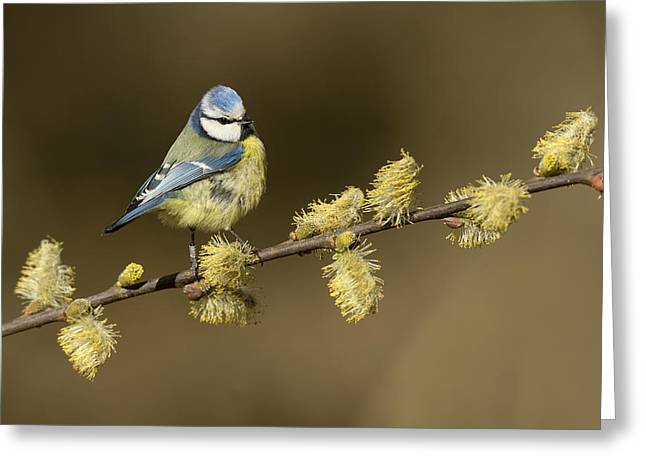 Blue Tit Netherlands Greeting Card