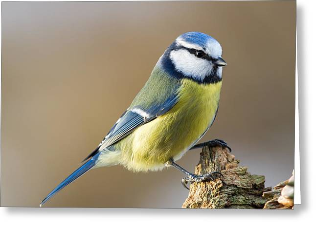 Blue Tit On Stub Greeting Card by Torbjorn Swenelius