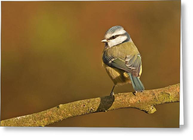 Greeting Card featuring the photograph Blue Tit by Paul Scoullar