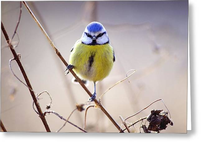 Blue Tit Greeting Card by Science Photo Library