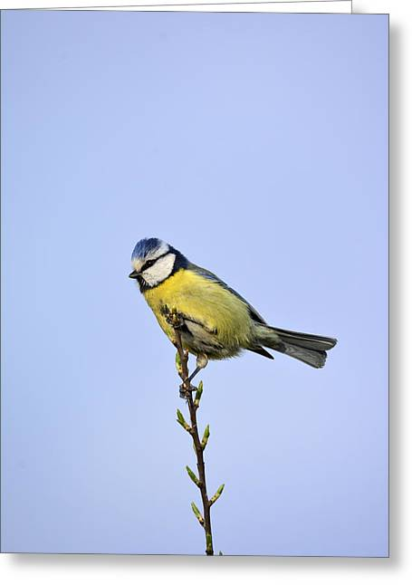 Blue Tit Greeting Card by Tommytechno Sweden