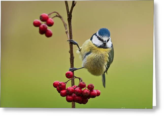 Blue Tit With Hawthorn Berries Greeting Card by Liz Leyden