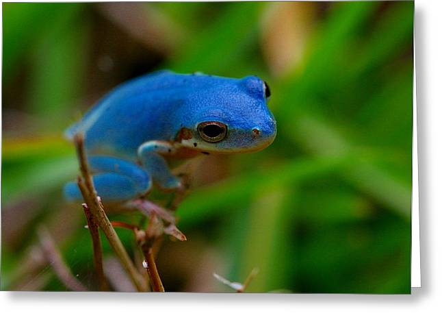 Blue Tree Frog Greeting Card by April Wietrecki Green