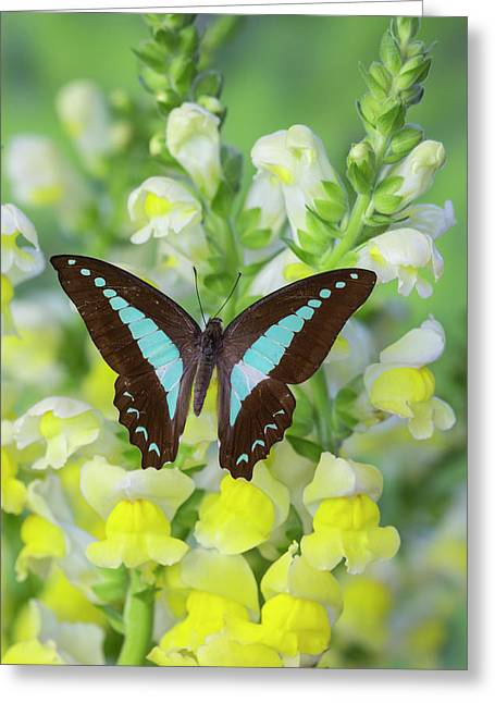 Blue Triangle Butterfly, Graphium Greeting Card
