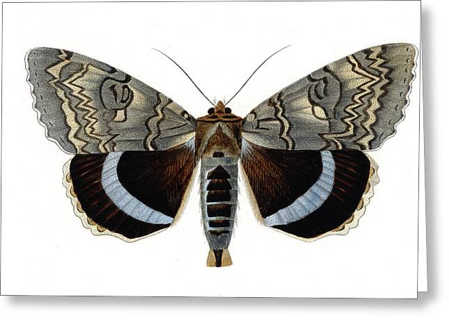 Blue Underwing Moth Greeting Card by Collection Abecasis