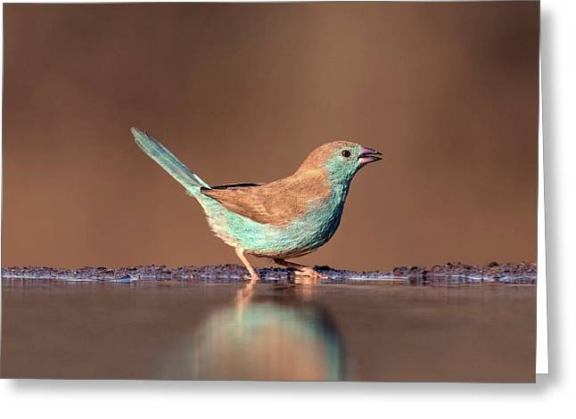 Blue Waxbill Drinking Greeting Card