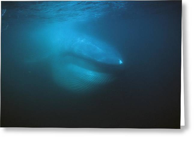 Blue Whale Filter Feeding Sea Of Cortez Greeting Card