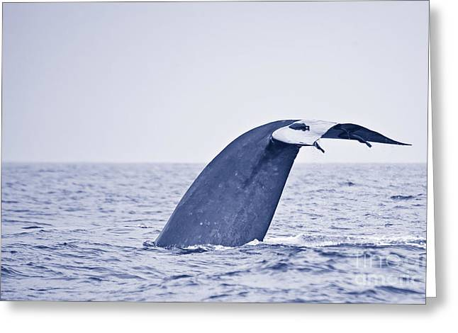 Blue Whale Tail Fluke With Remoras Greeting Card by Liz Leyden