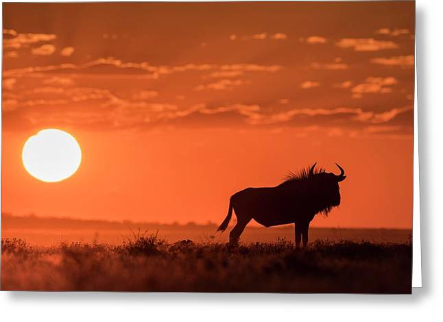 Blue Wildebeest At Dusk Greeting Card by Tony Camacho/science Photo Library