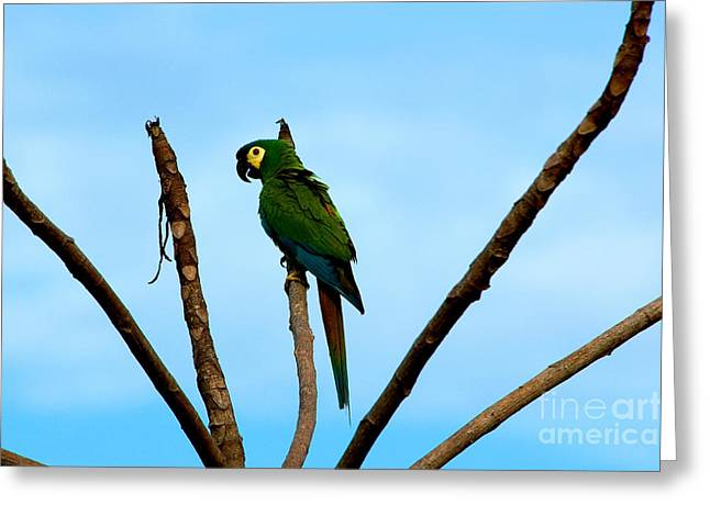 Blue-winged Macaw, Brazil Greeting Card