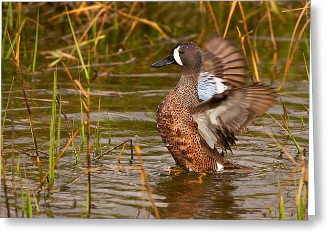 Greeting Card featuring the photograph Blue-winged Teal by Ram Vasudev