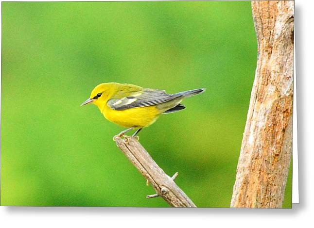 Blue-winged Warbler Greeting Card by Judy Genovese