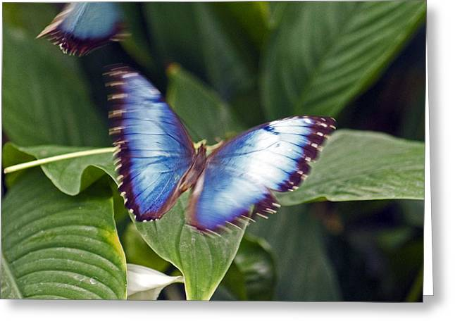 Blue Wings Greeting Card
