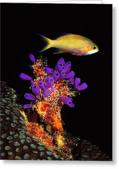 Bluebell Tunicate Clavelina Greeting Card by Panoramic Images