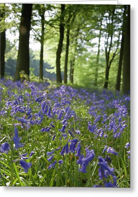 Bluebells Along The Forest Floor Greeting Card