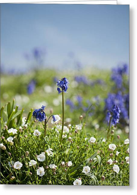 Bluebells In Sea Campion Greeting Card by Anne Gilbert