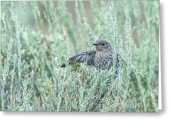 Bluebird In Sage Greeting Card by Yeates Photography