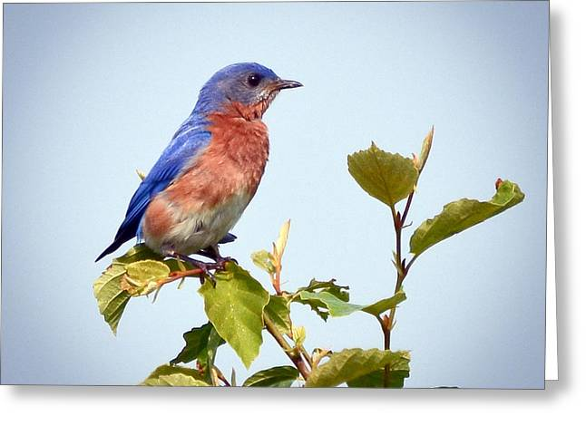 Greeting Card featuring the photograph Bluebird On Top by Kerri Farley