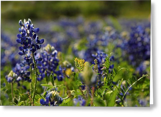 Bluebonnets In Spring Greeting Card by Linda Unger
