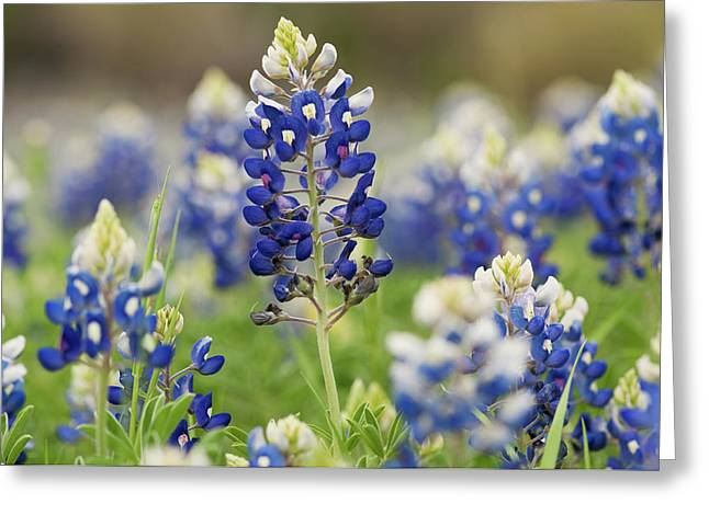 Bluebonnets Greeting Card