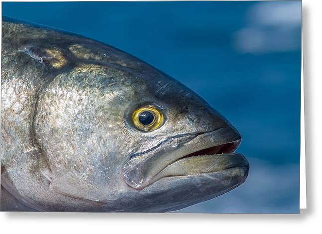 Bluefish Greeting Card by Jim DeLillo