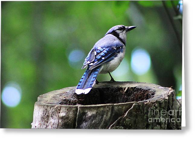 Greeting Card featuring the photograph Bluejay by Alyce Taylor