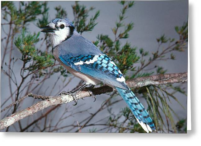 Bluejay Calling Greeting Card by John S. Dunning