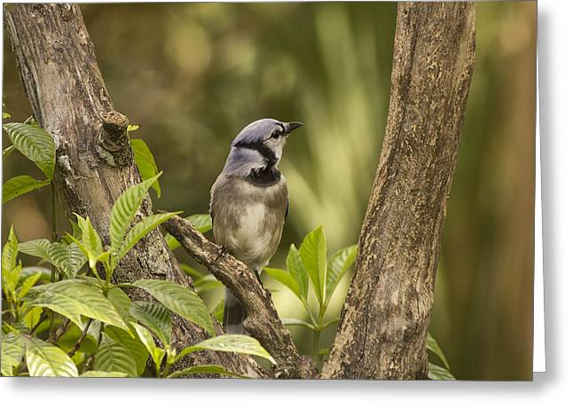 Bluejay In Fork Of Tree Greeting Card by Anne Rodkin