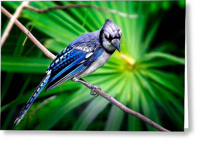 Thoughtful Bluejay Greeting Card