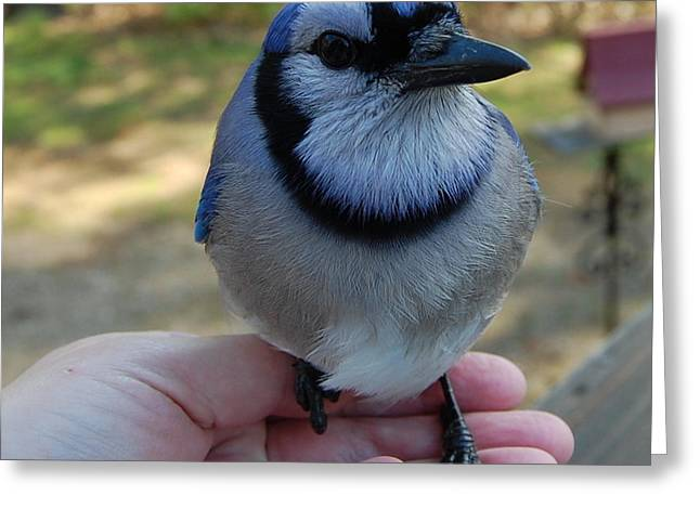 Greeting Card featuring the photograph Bluejay by Mim White