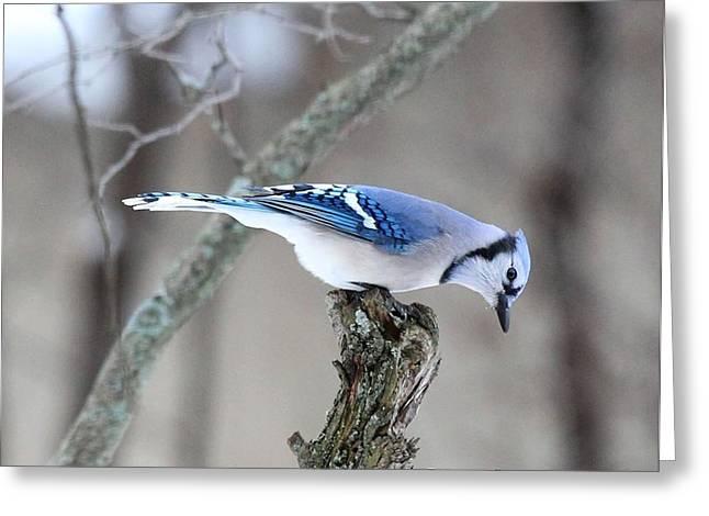 Blue Jay Taking A Break Greeting Card
