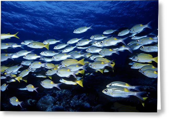 Bluelined Snappers And Yellowspot Emperors Greeting Card