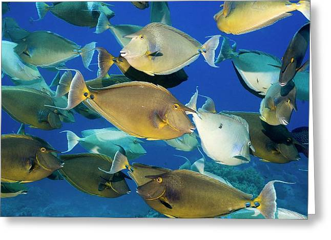 Bluespine Unicornfish Over A Reef Greeting Card
