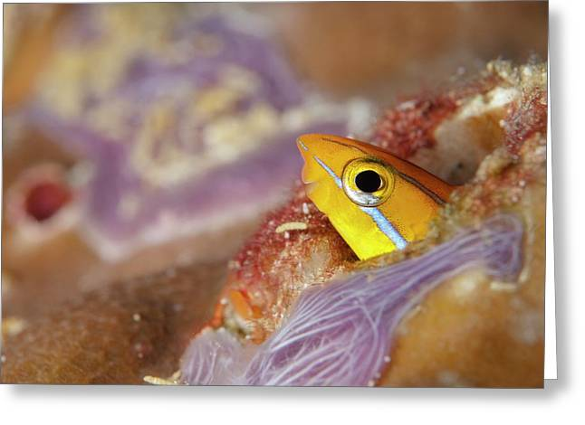 Bluestriped Fangblenny In The Maldives Greeting Card by Scubazoo