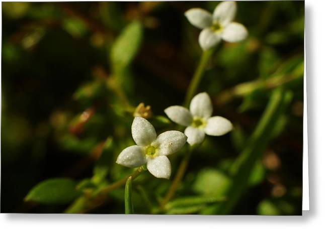 Bluets Greeting Card by Billy  Griffis Jr