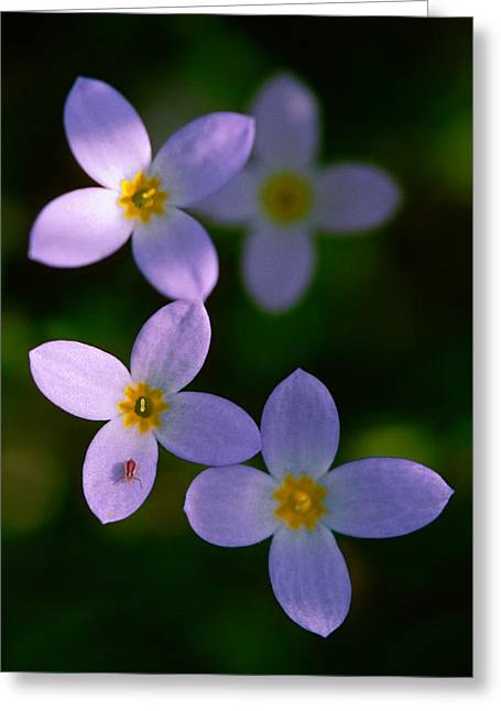 Greeting Card featuring the photograph Bluets With Aphid by Marty Saccone