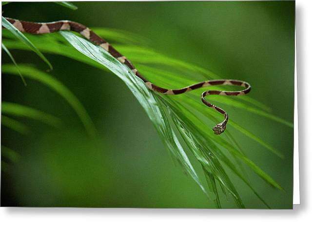 Blunthead Tree Snake (imantodes Cenchoa Greeting Card by Pete Oxford